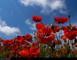 Poppies: in South Downs National Park, Sussex, England, near Falmer, Brighton