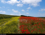 Sea of poppies: hills of the South Downs National Park, Sussex, England, covered with poppies