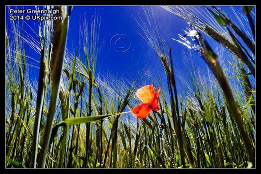 Poppy in cornfield on South Downs