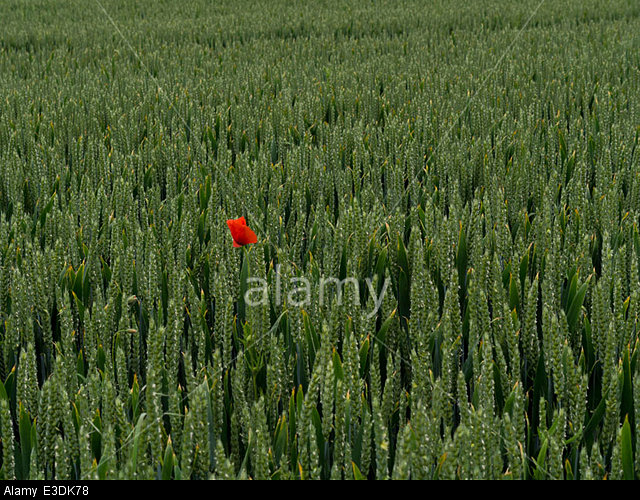 Poppy in a cornfield in a valley of the South Downs, Sussex, England, UK