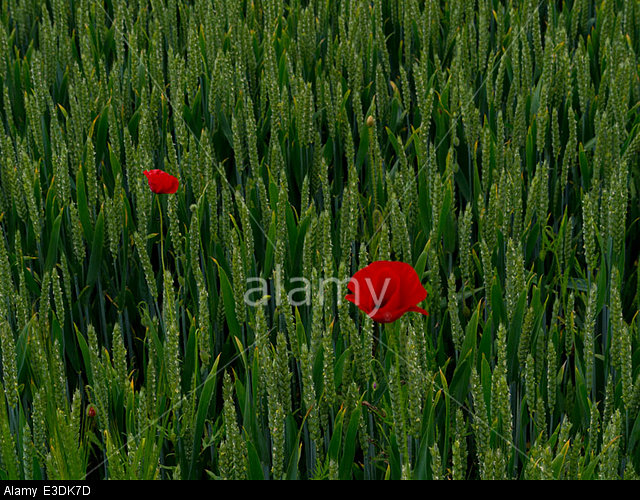 Poppies in a cornfield in a valley of the South Downs, Sussex, England, UK